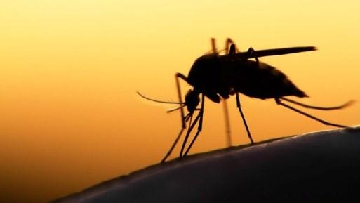 Вечерний_комар