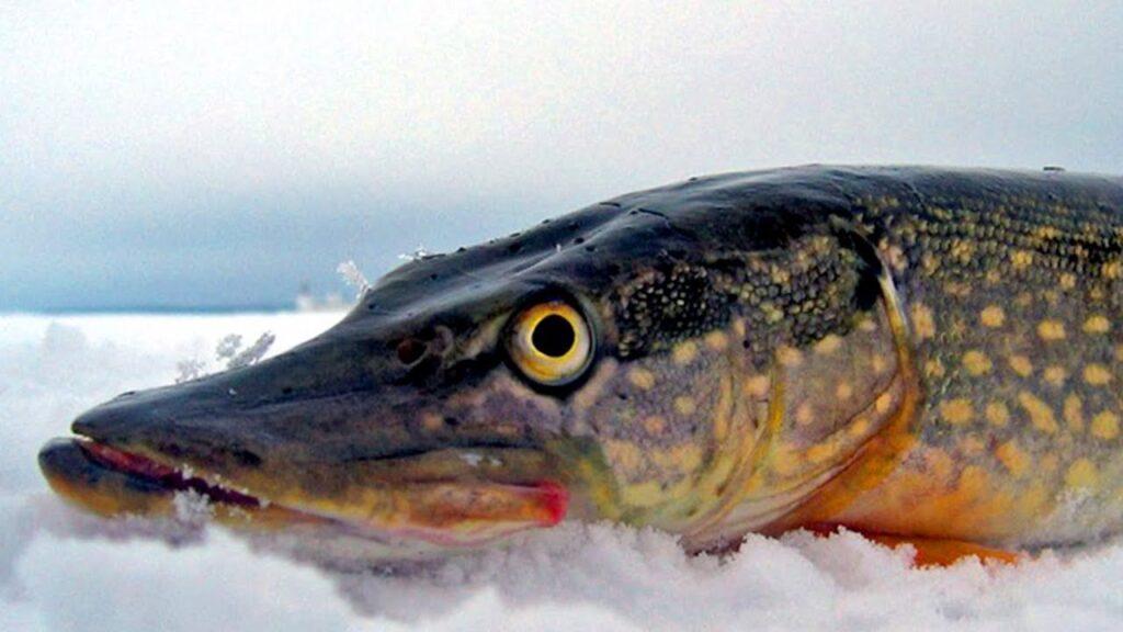 Рыбалка на щуку: приманка